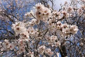 blossom trees blossom trees cyprus u2013 lyubava crochet