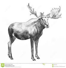 drawn moose how big pencil and in color drawn moose how big