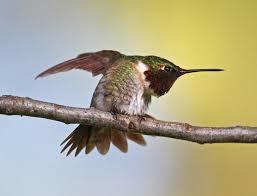 ruby throated hummingbird audubon field guide