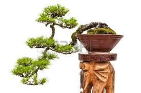 green bonsai pine tree or asian ornamental or decorative plant
