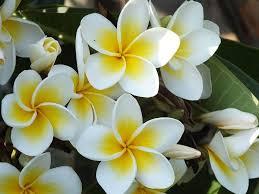 Jasmine Flowers Best 25 Jasmin Flower Ideas On Pinterest Wicca Herbs Flower