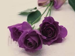 lavender roses florist flower facts