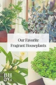 Fragrant Indoor House Plants - best 25 jasmine plant indoor ideas on pinterest best plants for