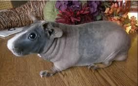 Shaved Guinea Pig Meme - til shaved guinea pigs look like small hippos imgur