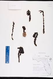Canopy Synonyms by Monotropa Uniflora Species Page Isb Atlas Of Florida Plants