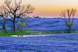 bluebonnet paradise just south of dallas on interstate 45 is the