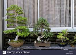 japanese bonsai stock photos u0026 japanese bonsai stock images alamy