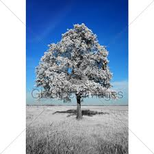 beautiful white tree gl stock images