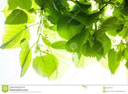 green leaves of the lime tree in the stock photo image