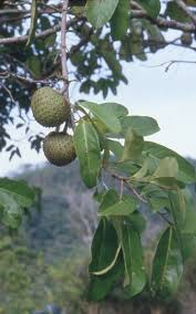 Transplant Fruit Trees - corossol zombie annona montana fruit tree wild custard apple live