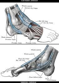 Sole Of The Foot Anatomy Anatomy U0026 Physiology Illustration