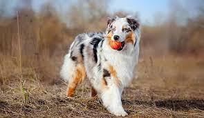 pictures of australian shepherds meet the australian shepherd dog notebook