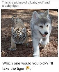 Wolf Meme - this is a picture of a baby wolf and a baby tiger which one would