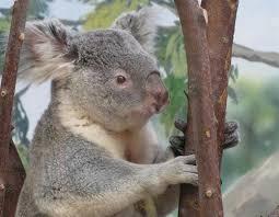 koalas drink water