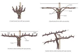 important structures u0026 features of grapevines lodi growers