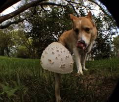 Are Backyard Mushrooms Poisonous In Your Own Yard Dogs And Poisonous Mushrooms