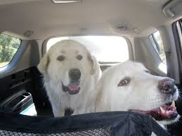 great pyrenees rescue provides wonderful dogs to good homes colorado great pyrenees rescue community november 2011