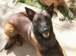 belgian shepherd how much should you get a belgian malinois as a family dog pet sitter