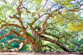 oak tree free must see park near charleston
