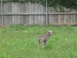 Design My Backyard Coyote In My Backyard Design Inspirations Home Design