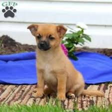 australian shepherd pomeranian mix pomeranian mix puppies for sale in pa