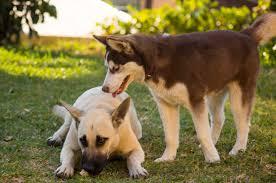 belgian shepherd breeders husky puppy wrestling large white malinois mix youtube