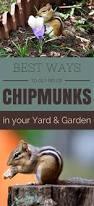 best ways to get rid of chipmunks in your yard and garden