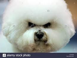 bichon frise golf head cover pleasanton stock photos u0026 pleasanton stock images page 9 alamy