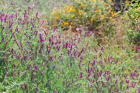 native plants southern california sage hill offers views of blooming california native plants
