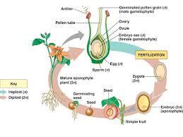Reproduction In Flowering Plants - ciclo de vida de una angiosperma bios pinterest