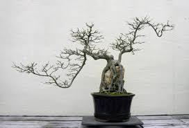how to rescue a bonsai tree