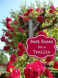 best 25 roses garden ideas on pinterest growing roses roses
