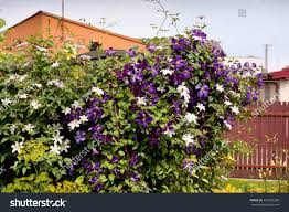 clematis flowering climber plant purple white stock photo