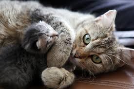 cat pregnancy stages fetal development until birth