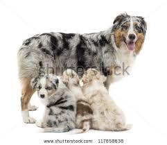 australian shepherd 3 weeks old australian shepherd puppy stock images royalty free images