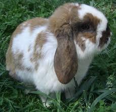 43 holland lops images holland lop rabbits