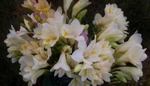 in a vase on monday spring brutality u2013 absent gardener