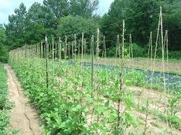 Bamboo Cucumber Trellis Show Me Your Trellis