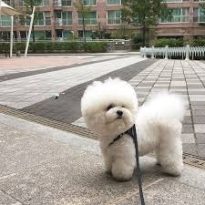 bichon frise whining 153 best bichons images on pinterest bichons puppies and