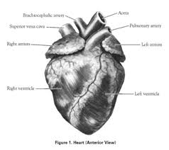 Sheep Heart Anatomy Quiz Mbms 6th Grade Science April 2016
