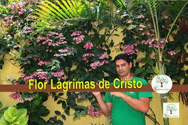 Favorito Flor Lágrimas de Cristo um encanto para sua casa - YouTube @IF07