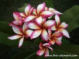 Plumerias Thai Plumeria World Of Plumeria And Adenium Engine By Igetweb Com