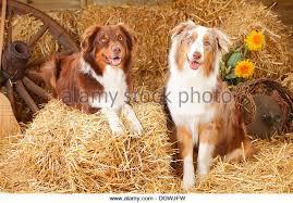 australian shepherd red merle australian shepherds red tri red merle australian shepherds stock