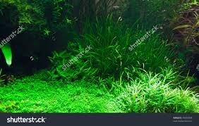 native aquarium plants stock photo fragment of the freshwater aquarium plants 70653034