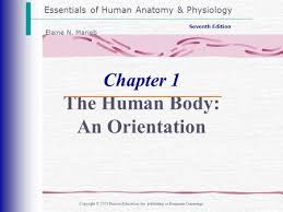 Human Anatomy And Physiology Marieb 5th Edition Human Anatomy And Physiology Ppt Video Online Download