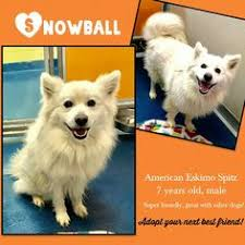 american eskimo dog a z american eskimo dog dog for adoption in randallstown md adn