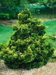 choosing conifers hgtv