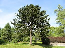 the monkey puzzle tree an unusual and endangered plant owlcation