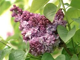 Heat Tolerant Plants How To Plant And Care For Lilacs Hgtv