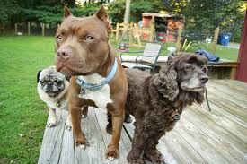 american pitbull terrier vs german shepherd does your pit bull live with other pets stubbydog